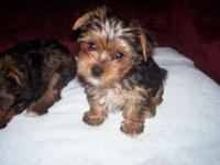 I have for sale Yorkiepoo puppies. Mother is complete