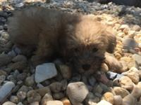 Male Yorkie Poo Puppy. He has received his first 2