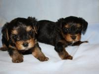 I have two darling little Yorkiepoos for sale. They
