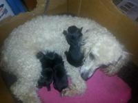 I have 3 lovely black yorkiepoo pups-1 male and