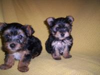 2 sweet little pups 1 male 1 female mom is a Yorkie dad