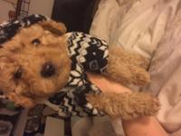 Toy poodle yorkie puppies non Shedding 3 MALE puppies