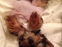 We have 4 stunning healthy yorkiepoo young puppies.