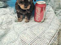 Stunning little black and gold yorkipoo has a plush