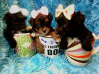 Stunning yorkiepoos born June 30. They're super loving
