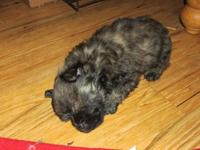i have some yorkiepoo/poos to rehome. (1 child). mama