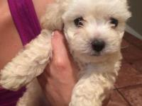 We have an 8 week old sweet yorkiepoo puppy. He is a