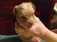 This boy is a RedMerle he is 6 weeks old and eating and