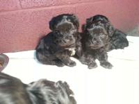 I have 4 female yorkie poo puppies all set on the