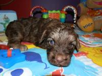 Look!!! I have some adorable yorkiepoo puppies for