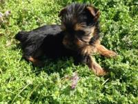 I have 1 yorkie left that I am approving a deposit on.