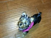 Small female yorkies black&& tan w/ silver. Beautiful