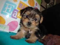 Purebred Yorkies 3 females 9 wks old $700 very playful,