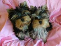 Beach Yorkies just delivered 3 little girls on November