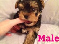 AKC Yorkshire Terrier young puppies. 7 weeks old 1 lady