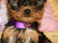 Playful and healthy female and male Yorkies, small size