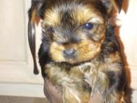 Very beautiful yorkie puppies..they are 6 weeks old