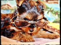 I HAVE 2 YORKIE PUPPIES THAT WILL BE READY TO GO THE