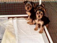 I have two male yorkie puppeis available for deposits.