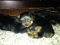 Tiny Yorkies 2 separate litters 2 males/2 females (rare