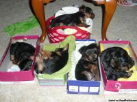 Yorki AKC puppies, 2 females, 2 males, vet health