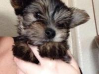 I have 3 women Yorkie new puppies left. They are a