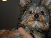 2 yorkie males for sale up to date on vaccines and