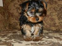 I have 2 adorable Yorkie dogs that are requiring a new