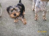 Purebred female Yorkie, she is the last one out of