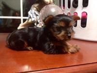 Toy AKC Yorkies will steal your heart a way sweet
