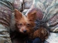 i have a litter of yorkies one female and 4 males black