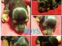 Hello!! I had 6 yorkies born may 6th I have 3 males