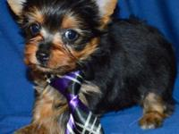 Beautiful tiny Yorkshire terrier puppies Adult weight