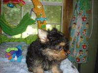 Awesome male yorkies Both parents are AKC registered