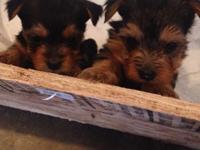 I have 2 male yorkie puppies left. Will have first set