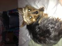 Tri state yorkie rescue has several yorkies, a couple