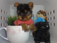 Yorkies available for sale! All pups have been to the