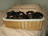 I have 2 litters of Yorkies ready for their new home