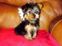Additional little lively Yorkies. 2 females, registered