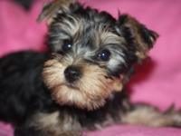 9 weeks old yorkies for sale. 1 female and 1 male: