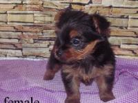 Bevellas Pet Shop now has Yorkies males and females for