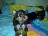 i have four yorkie puppies for sale 6 weeks old tails