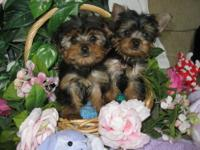 Yorkie Male's 11 weeks UTD shots & worming . These