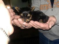 Micro Tiny Yorkie children (pocket puppies), mother and
