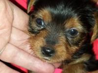 I have one male and four females Yorkie puppies.With