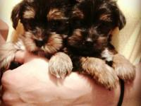 I have for sale Yorkie puppies female and Males their