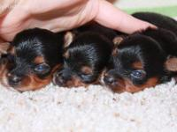 pups small,healthy,very smart.Have parents they are
