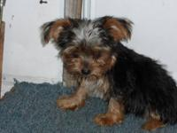 I am looking to purchase adult Yorkies or will buy a