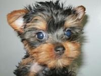Teddy Bear Yorkie Puppy! Gentle and Intelligent. Best