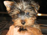 Teddy Bear Yorkie Puppies! Gentle and Intelligent. Best